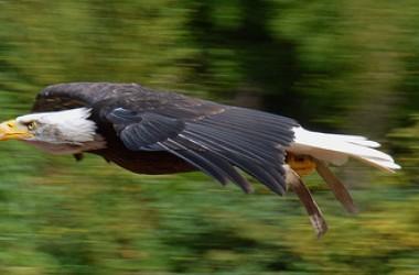 我們全能的父常喜歡將祂保護下的雛鷹引到絕壁頂上,推他們下去,好使他們知道自己有飛行的能力…