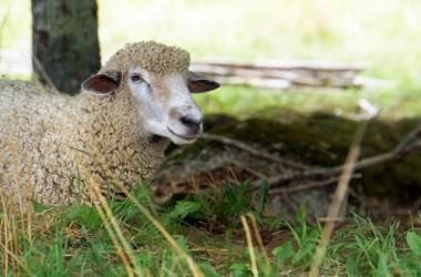 我是好牧人,我為羊可以捨命,也盼望羊都願意聽牧人的聲音!