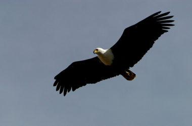 高飛的鶩鷹