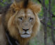 獅子的祝福